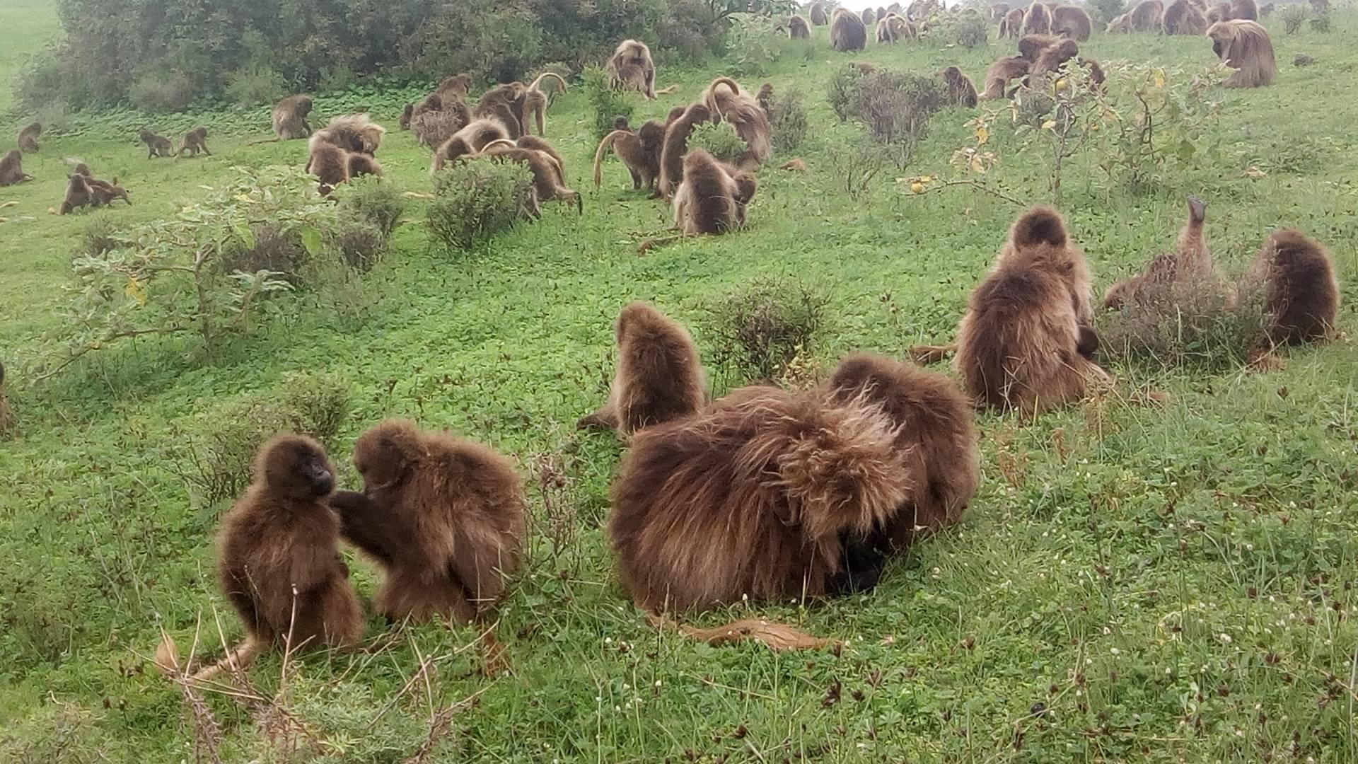 Simien Mountains Natural Park Wildlife